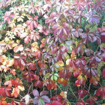 "Vynvytis penkialapis""Troki""<br>(Parthenocissus guinguefolia""Troki')"