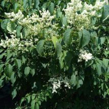 Alyvos kinines<br>(Syringa chinensis)