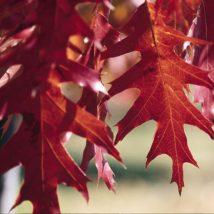 Ąžuolas raudonasis <br>(Quercus rubra)
