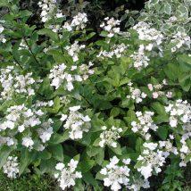 "Hortenzija šluotelinė ""Dart's little Dot""<br>(Hydrangea paniculata ""Dart's Little Dot"")"