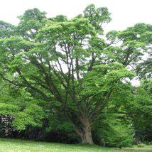Kamštenis amūrinis <br>(Phellodendron amurense)