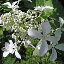 """Hortenzija šluotelinė """"Le Vasteriviva=Great Star""""<br>(Hydrangea paniculata """"Le Vasterivival=Great Star"""")"""