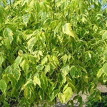 """Klevas uosialapis """"Aureomarginatum"""" <br>(Acer negundo """"Aureomarginatum"""")"""