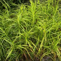 Viksva palminė <br>(Carex muskingumensis)