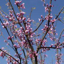 Cersis kanadinis <br>(Cercis canadensis)