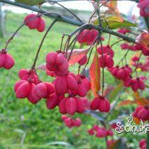 "Ožekšnis europinis ""Red Cascade"" <br>(Euonymus europaeus ""Red Cascade"")"