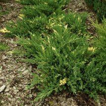 "Kadagys kininis ""Expansa Variegata"" <br>(Juniperus chinensis ""Expansa Variegata"")"