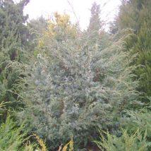 "Kadagys kininis ""Blue Alps"" <br>(Juniperus chinensis""Blue Alps"")"