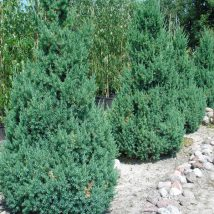 "Kadagys kininis  ""Stricta"" <br>(Juniperus chinensis ""Stricta"")"