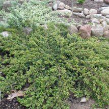 "Kadagys paprastasis ""Repanda"" <br>(Juniperus communis ""Repanda"")"