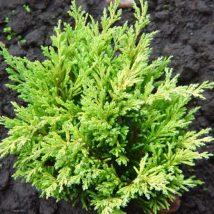 """Kadagys gulsčiasis """"Limeglow"""" <br>(Juniperus horizontalis """"Limeglow"""")"""