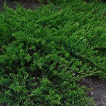"""Kadagys gulsčiasis  """"Prince of Wales"""" <br>(Juniperus horizontalis""""Prince of Wales"""")"""