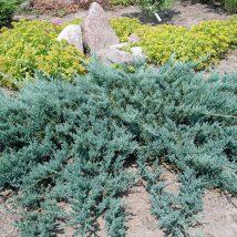 """Kadagys gulsčiasis """"Blue chip"""" <br>(Juniperus horizontalis """"Blue Chip"""")"""