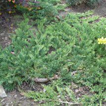 """Kadagys gulsčiasis """"Wiltonii"""" <br>(Juniperus horizontalis """"Wiltonii"""")"""