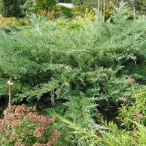 """Kadagys kazokinis """"Glauca"""" <br>(Juniperus sabina""""Glauca"""")"""