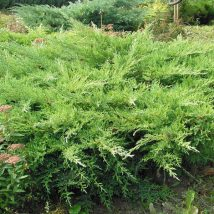 "Kadagys kazokinis  ""Rockery Gem"" <br>(Juniperus sabina ""Rockery Gem"")"