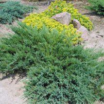 "Kadagys kazokinis ""Tamariscifolia"" <br>(Juniperus sabina ""Tamariscifolia"")"