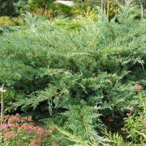"""Kadagys virgininis """"Hetz"""" <br>(Juniperus virginiana""""Hetz"""")"""