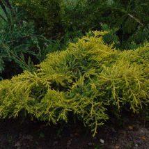 "Kadagys tarpinis ""Golden Saurcer"" <br>(Juniperus x media""Golden Saucer"")"