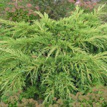 """Kadagys tarpinis """"Pfitzeriana Aurea"""" <br>(Juniperus x media """"Pfitzeriana Aurea"""")"""