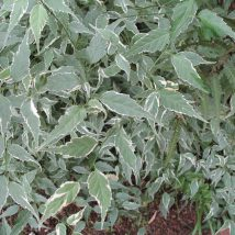 "Kerija japoninė ""Picta""<br>(Kerria japonica""Picta"")"