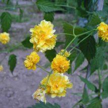 """Kerija japoninė """"Pleniflora"""" <br>(Kerria japonica """"Pleniflora"""")"""