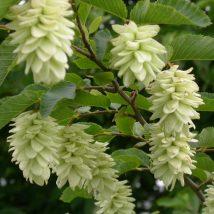Ostrija skroblalapė <br>(Ostrya carpinifolia)