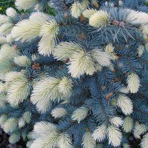 "Eglė dygioji ""Bialobok"" <br>(Picea pungens ""Bialobok"")"