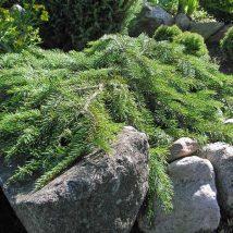 "Eglė paprastoji ""Formanek"" <br>(Picea abies ""Formanek"")"