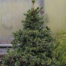 Eglė serbinė 'Wodan' <br>(Picea omorika 'Wodan')