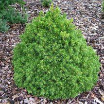 "Eglė paprastoji ""Tompa"" <br>(Picea abies ""Tompa"")"