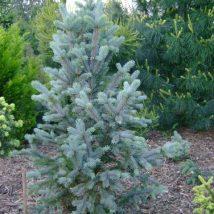 """Eglė dygioji """"Iselifastigiata""""<br>(Picea pungens """"Iselifastigiata"""")"""