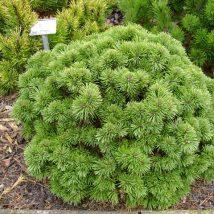 """Pušis kalninė """"Allgau"""" <br>(Pinus mugo""""Allgau"""")"""