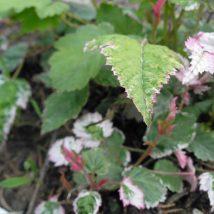 """Avietė smulkialapė """"Variegatus"""" <br>(Rubus microphyllus""""Variegatus"""")"""