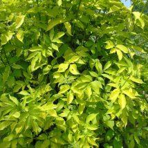 "Šeivamedis juoduogis ""Aurea"" <br>(Sambucus nigra ""Aurea"")"