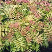 """Lanksvūnė šermukšnialapė""""Sem""""<br>(Sorbaria sorbifolia""""Sem"""")"""