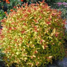 "Lanksva  japoninė ""Walbuma=Magic Carpet"" <br>(Spiraea japonica ""Walbuma=Magic Carpet"")"