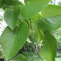 Liepa įvairialapė <br>(Tilia heterophylla)