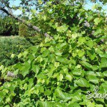 Vynmedis krantinis <br>(Vitis riparia)