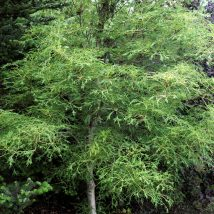 "Kaštonas paprastasis ""Lacinata"" <br>(Aesculus hippocastanum ""Lacinata"")"