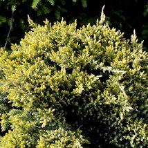 "Kadagys žvynuotasis ""Dream Joy"" <br>(Juniperus squamata ""Dream Joy"")"