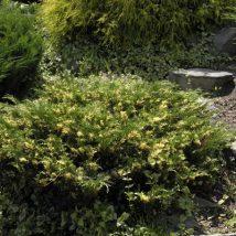 "Kadagys kazokinis ""Variegata"" <br>(Juniperus sabina ""Variegata"")"