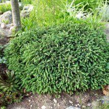 """Eglė baltoji """"Echinoformis"""" <br>(Picea glauca """"Echiniformis"""")"""