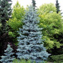 Eglė dygioji 'Edith' <br> (Picea pungens 'Edith')