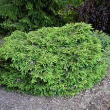"Eglė paprastoji ""Nidiformis"" <br>(Picea abies ""Nidiformis"")"