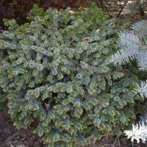 """Eglė serbinė """"Picobello"""" <br>(Picea  omorika """"Picobello"""")"""