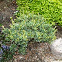"""Pušis smulkiažiedė """"Hagoromo"""" <br>(Pinus parviflora """"Hagoromo"""")"""