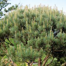 """Pušis paprastoji """"Watereri"""" <br>(Pinus sylvestris """"Watereri"""")"""