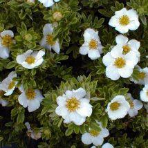 "Sidabražolė krūminė ""Tilford cream""<br>(Potentilla fruticosa ""Tilford cream"")"