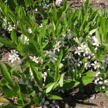 Vyšnia žemoji, gulsčiasis var. <br>(Prunus pumila depressa)